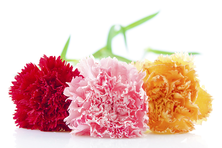 Three different color carnation flower in a row
